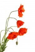 10245031-flowers-poppies-isolated-on-a-white-background