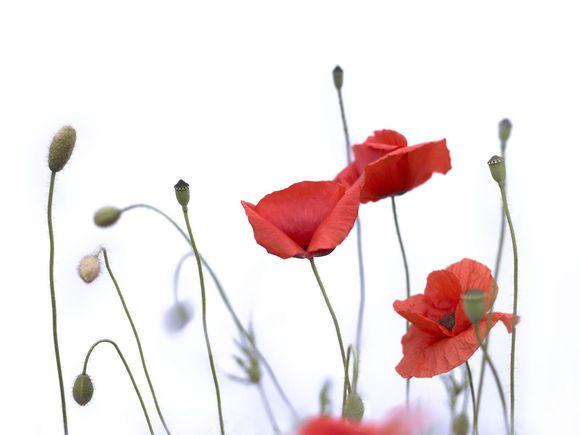 Poppies-Blank.jpg