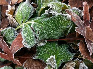 Frost_leaves_1b