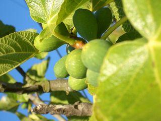 Fig_tree11